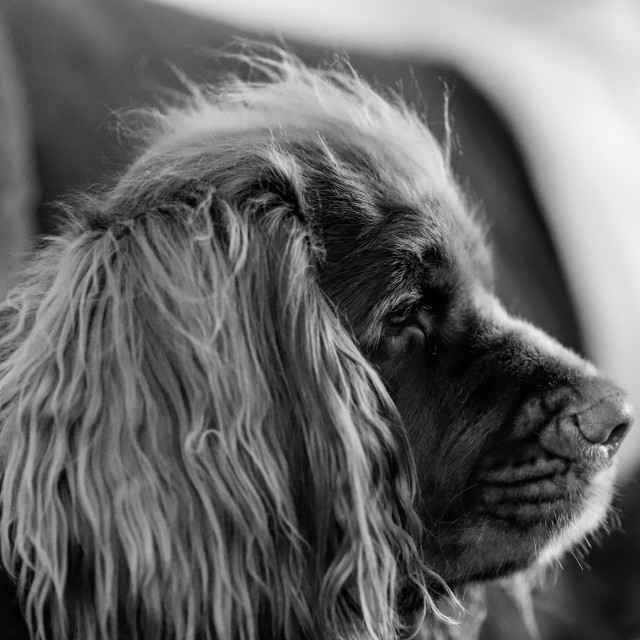 """""""Sussex Spaniel Black and White"""" stock image"""