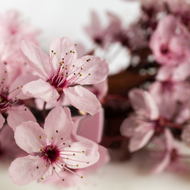"""Cherry apple blossom"" stock image"