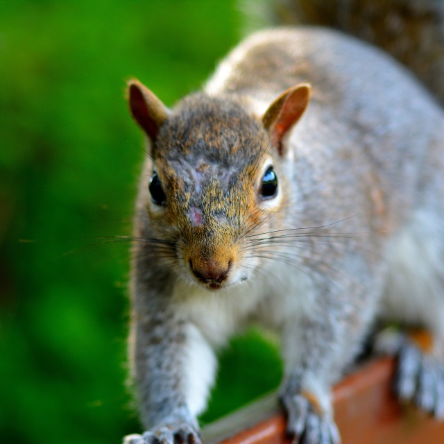 """squirrell"" stock image"
