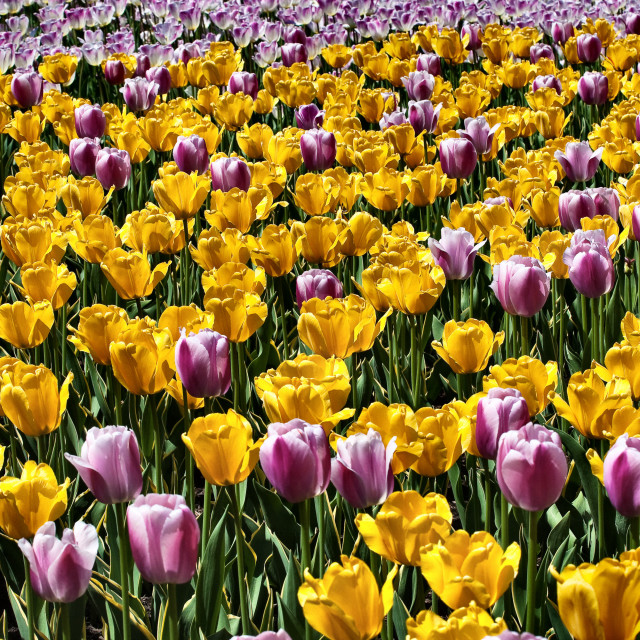 """Field of tulips"" stock image"