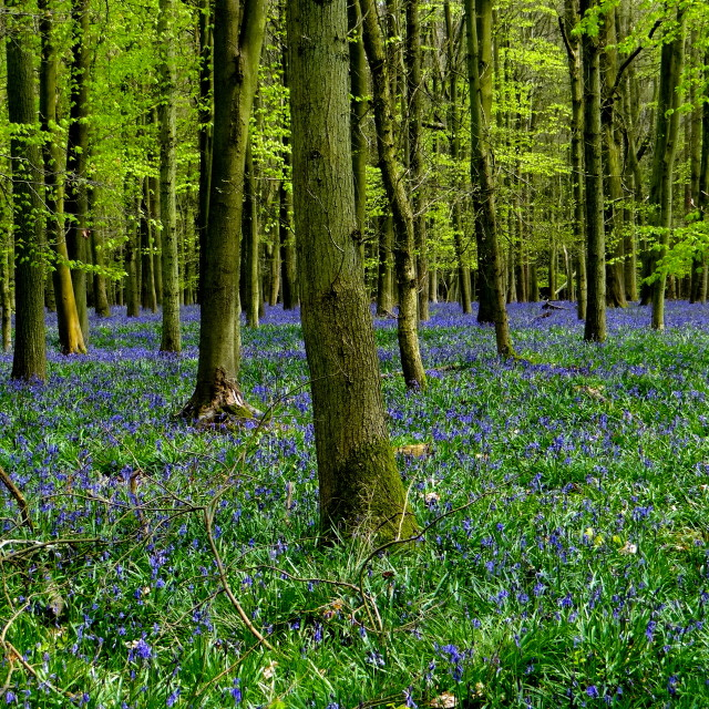 """Ashridge bluebells"" stock image"