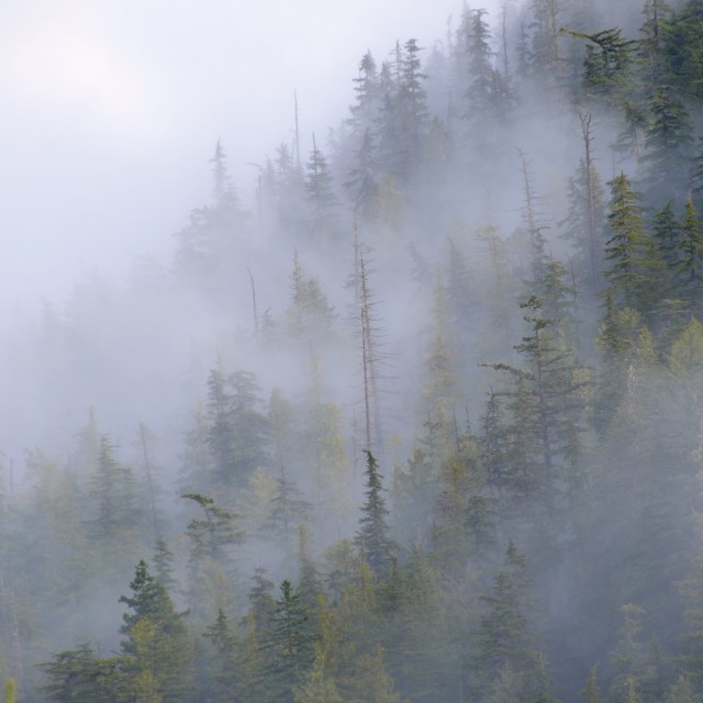 """Fog through the trees"" stock image"