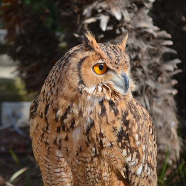 """A Brown Owl Portrait"" stock image"