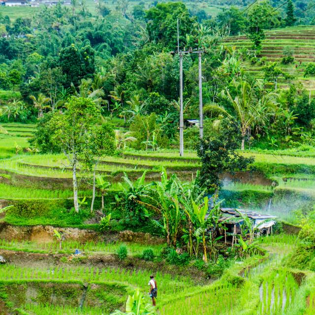 """Rice Terrace"" stock image"
