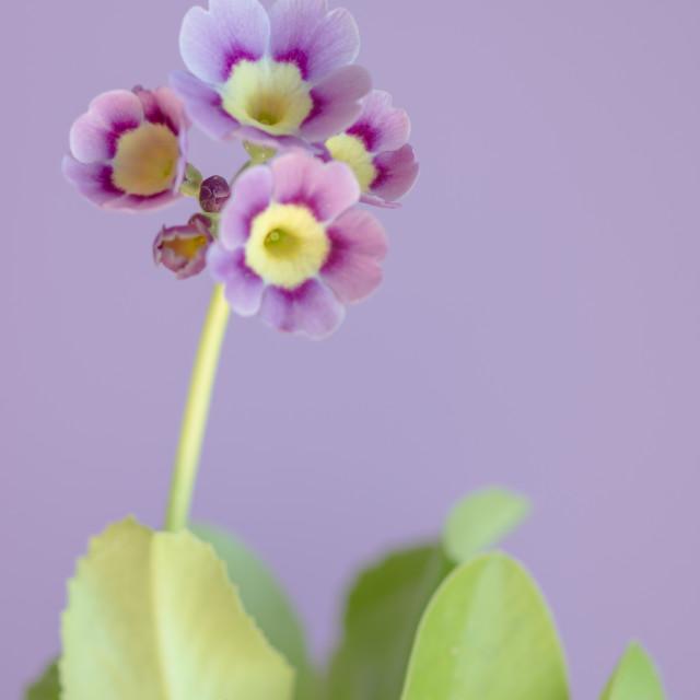"""""""Purple Primula"""" stock image"""