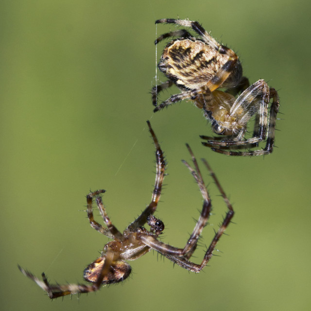 """Spider Fight"" stock image"