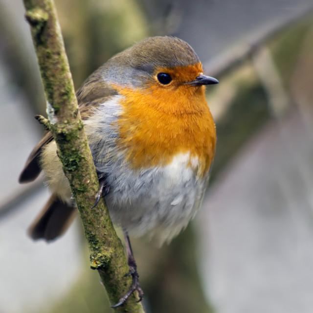 """""""Robin in Winter"""" stock image"""