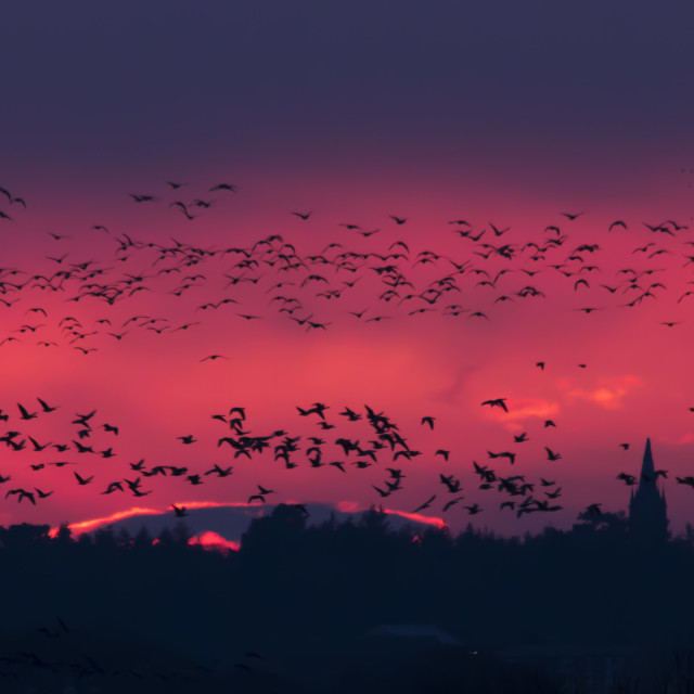 """Geese at dusk"" stock image"