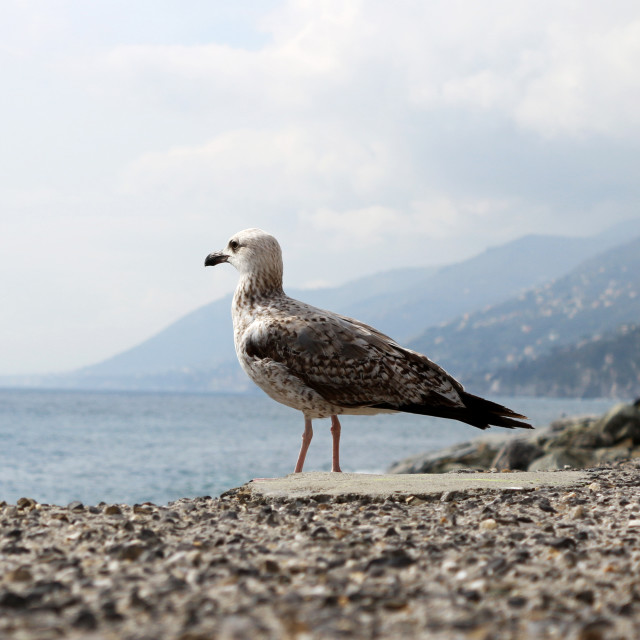 """Seagull looking out to sea"" stock image"
