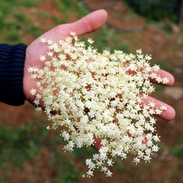 """Elderflower in hand"" stock image"