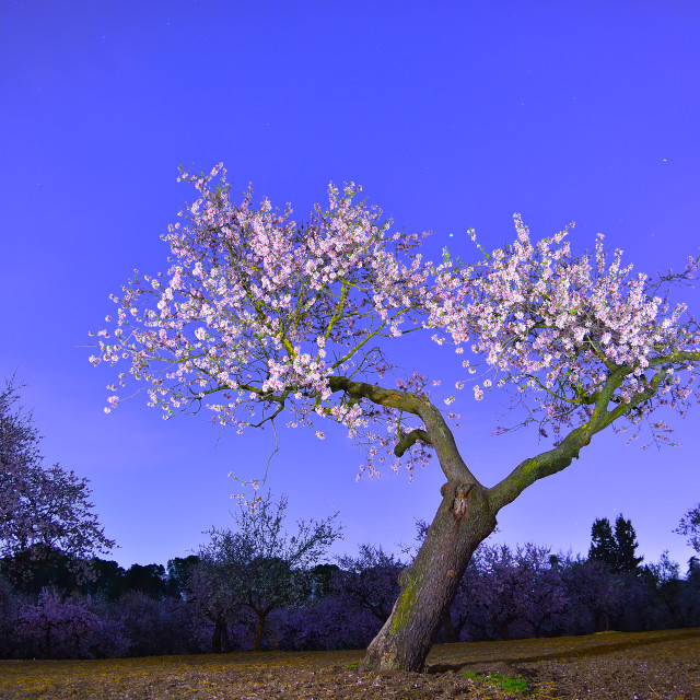 """""""Almond tree with flowers"""" stock image"""