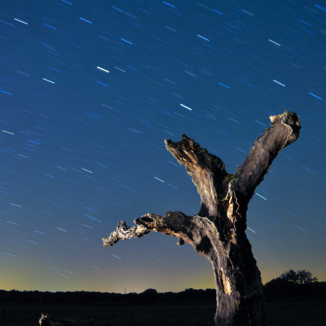 """Holm oak at night"" stock image"