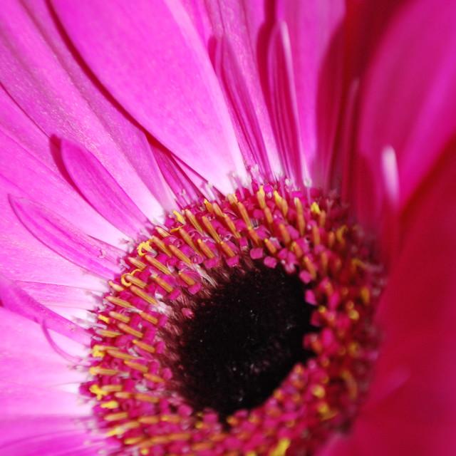 """Hot Pink Gerbera"" stock image"
