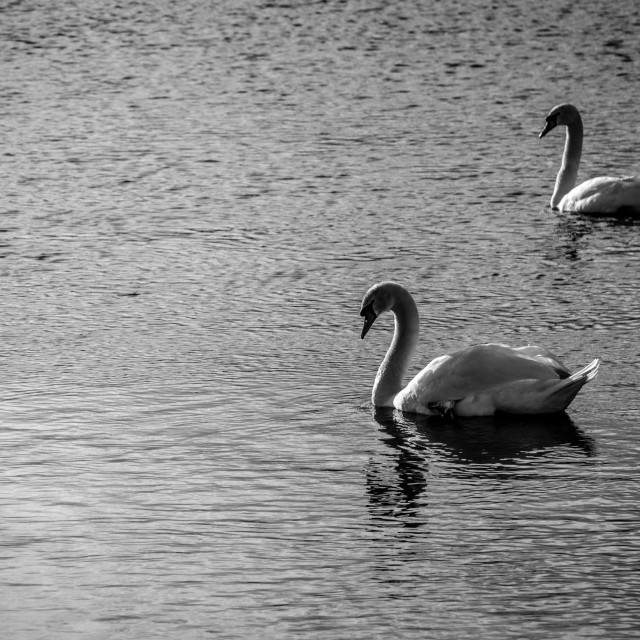 """Swans on the river"" stock image"