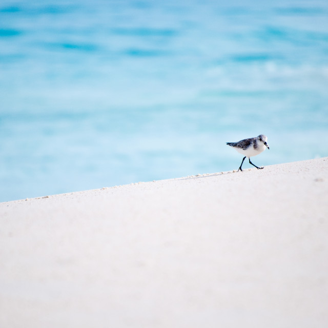 """Tiny beach bird"" stock image"