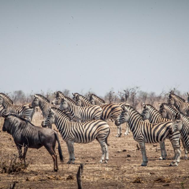 """Zebras & Wildebeest"" stock image"