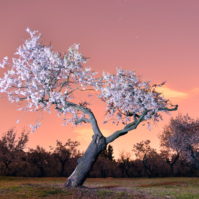 """Almond tree"" stock image"