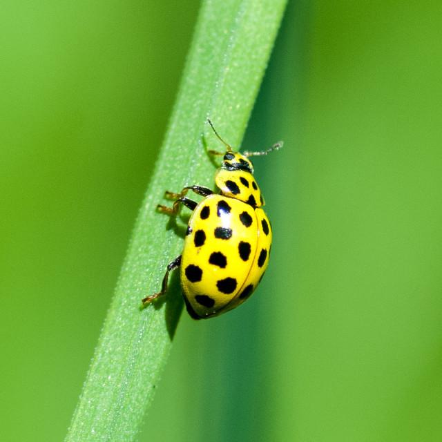 """22-spot ladybird"" stock image"