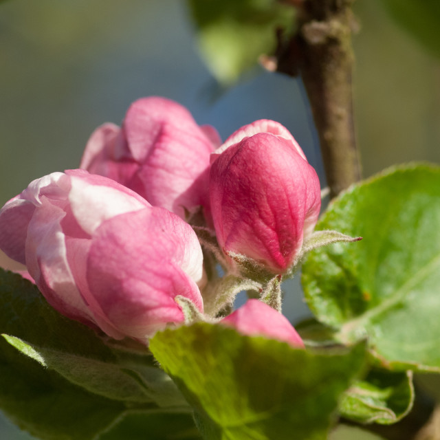 """Apple blossom buds"" stock image"