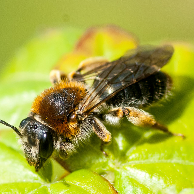 """Mining bee"" stock image"