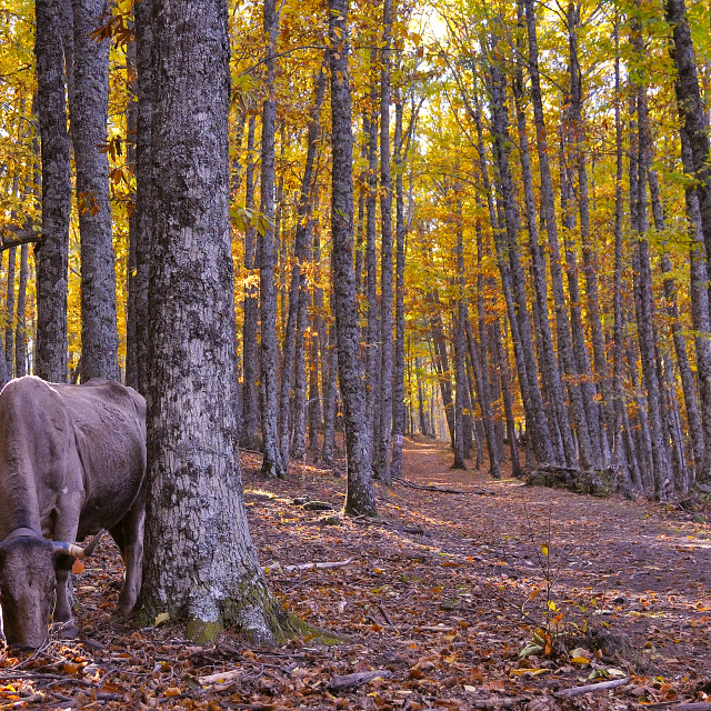 """""""Cow in a chestnut grove"""" stock image"""