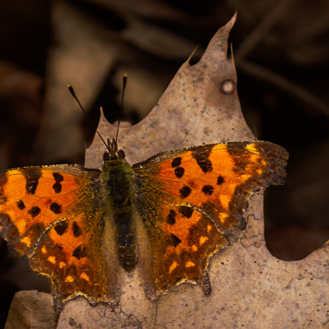 """""""Butterfly - C-Falter"""" stock image"""
