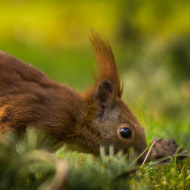 """Squirrel II"" stock image"