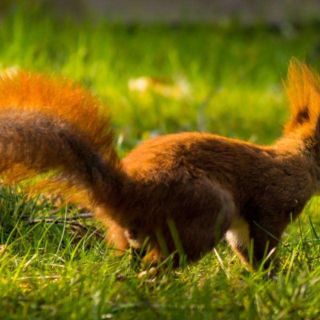 """""""Squirrel I"""" stock image"""