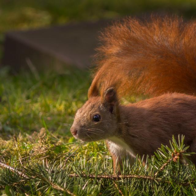 """""""Squirrel IV"""" stock image"""