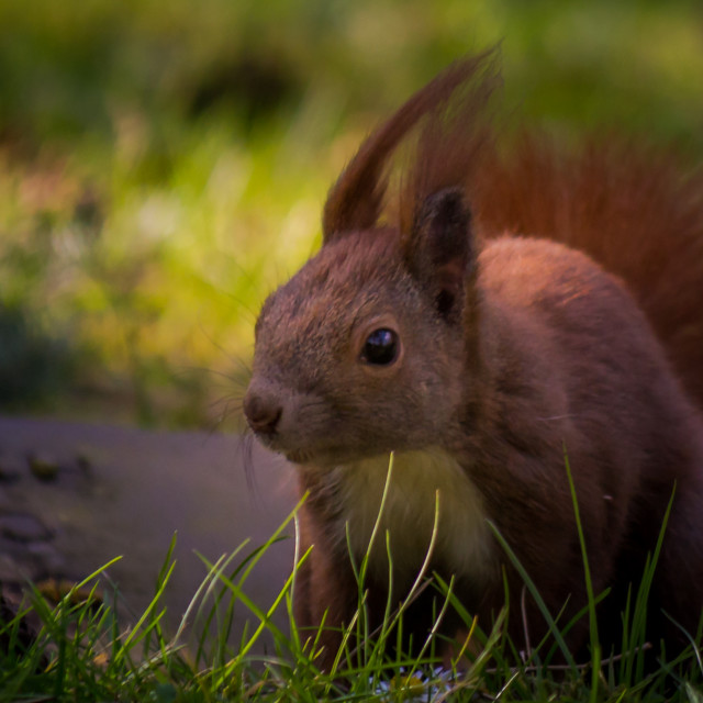 """Squirrel III"" stock image"