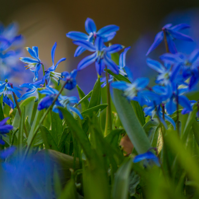 """Blue flowers - Schneestolz"" stock image"