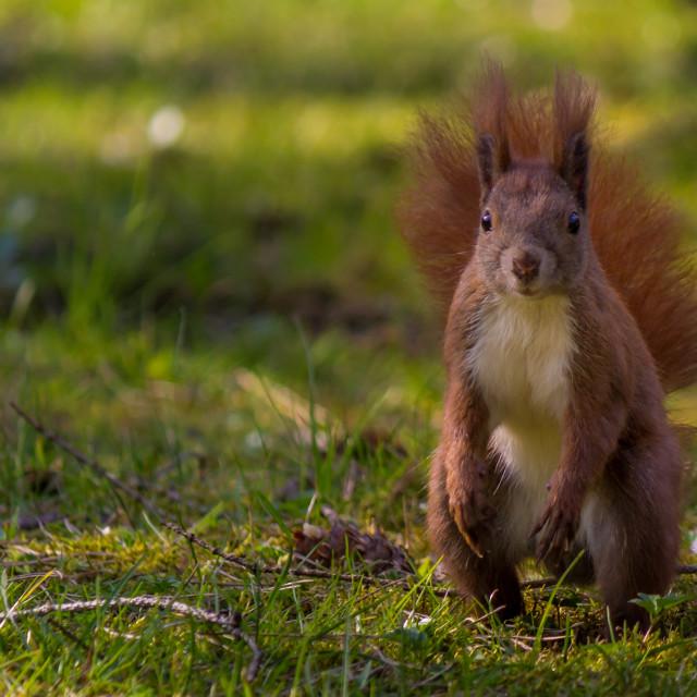 """Squirrel V"" stock image"