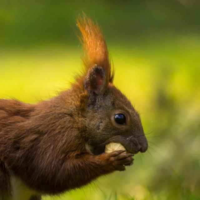"""Squirrel VI"" stock image"
