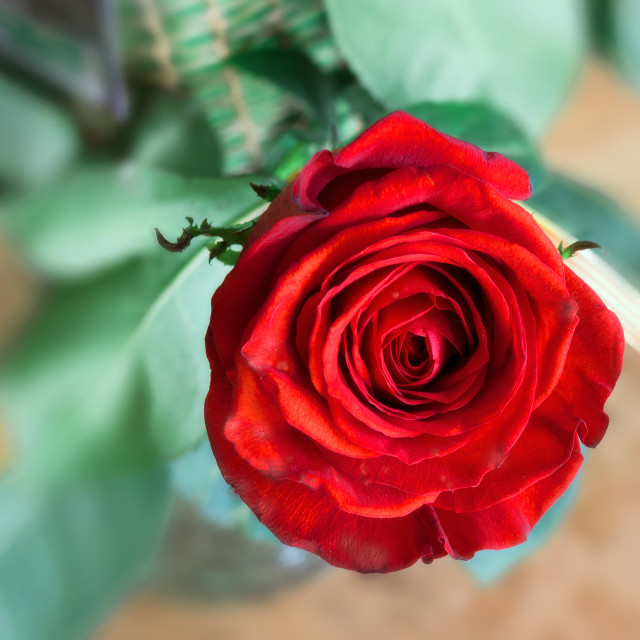 """Rose"" stock image"