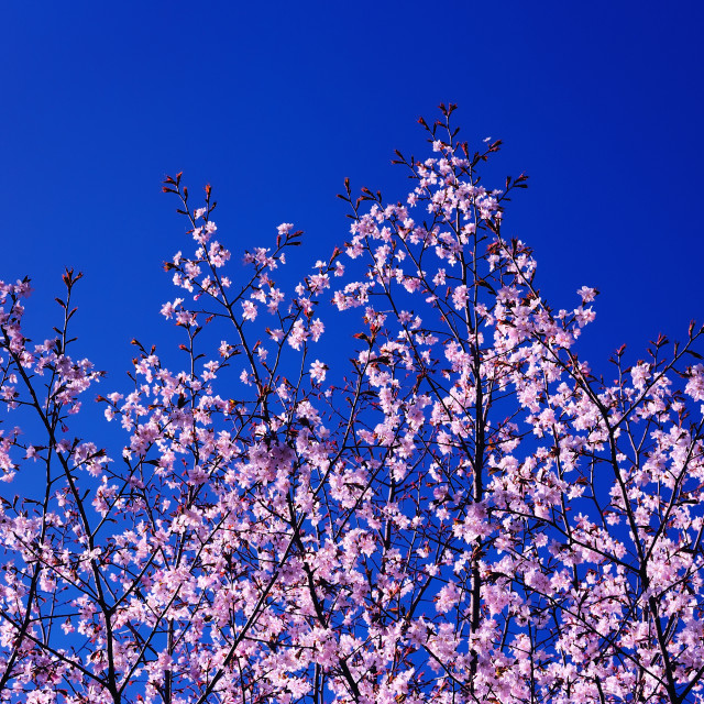 """Spring Blossoming of a Sakura; Blue Sky in the Background"" stock image"