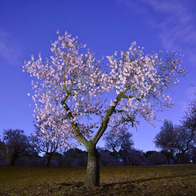 """""""Almond tree blooming"""" stock image"""