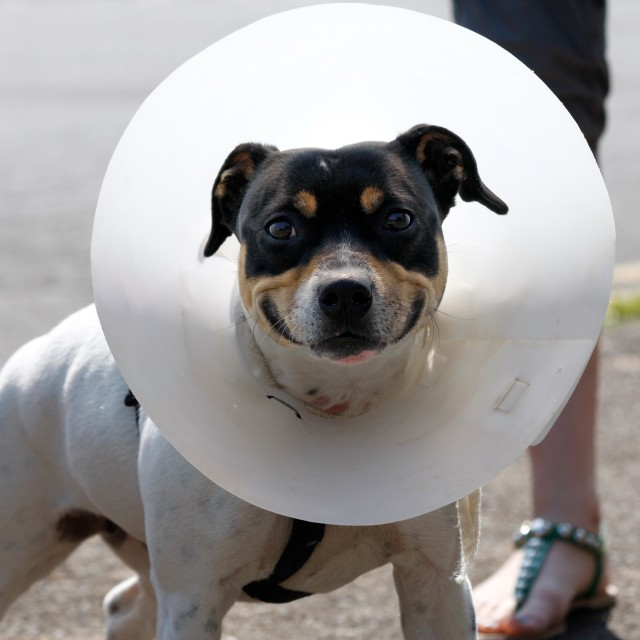 """Small dog wearing a cone"" stock image"