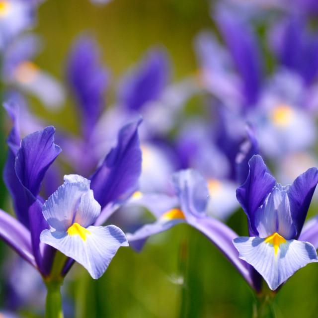 """""""Blue Iris"""" stock image"""