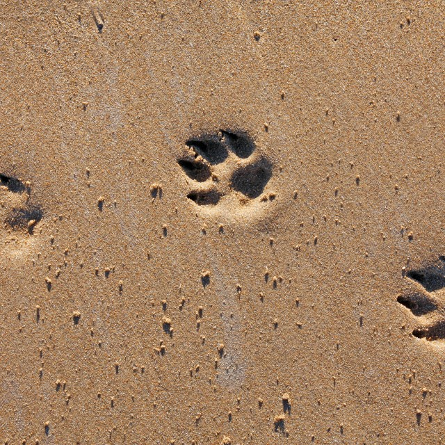 """Animal footprints in sand"" stock image"