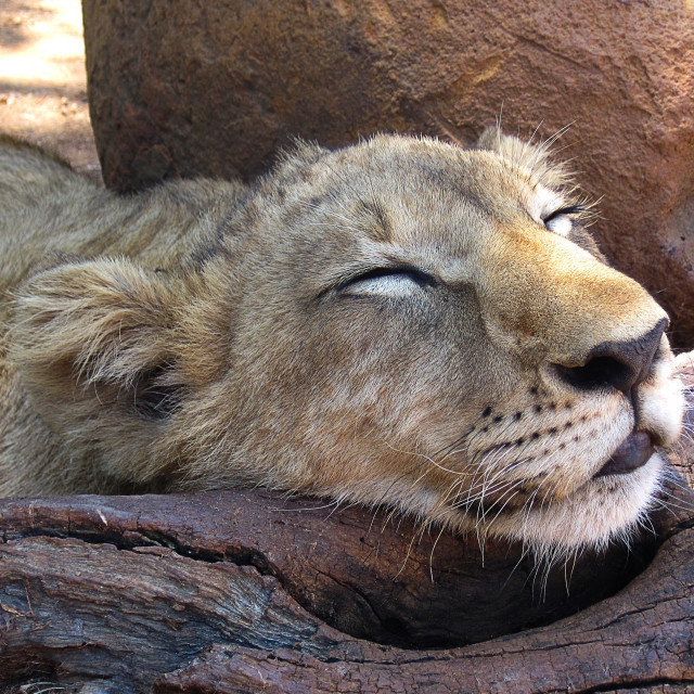 """A sleeping lion cub"" stock image"