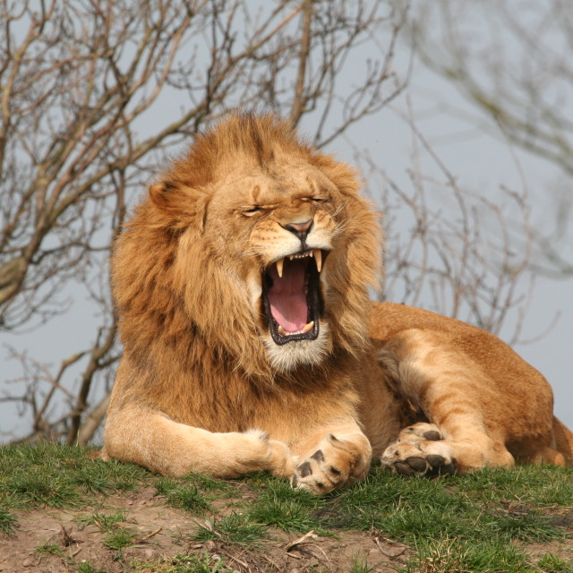 """Tired Lion"" stock image"