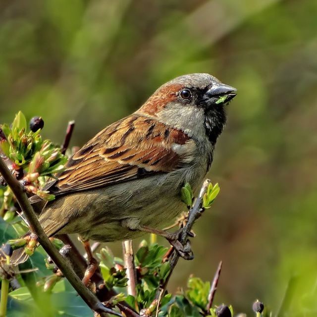 """sparrow bird"" stock image"