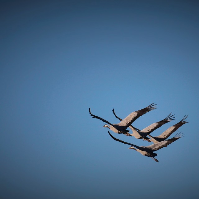 """Migrating cranes."" stock image"