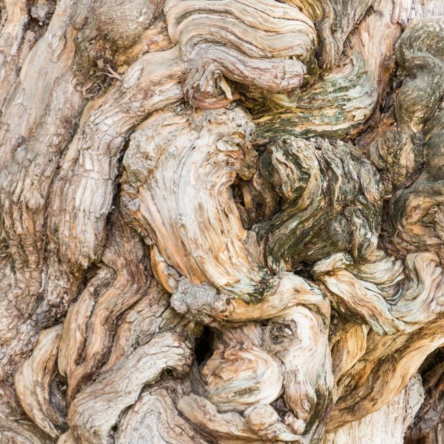 """Tree knot"" stock image"