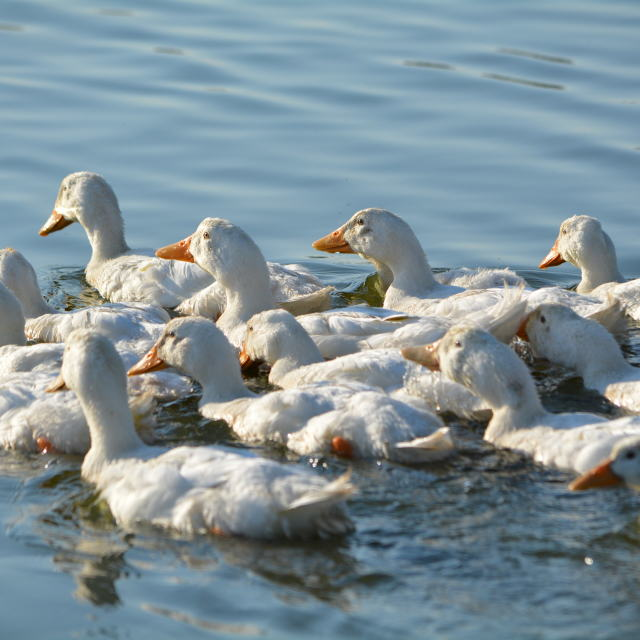 """A Team of Paddling Ducks"" stock image"