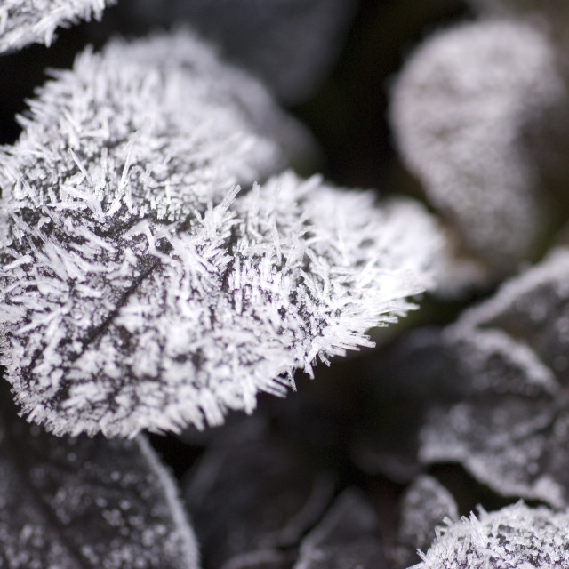 """Frost on leaves"" stock image"