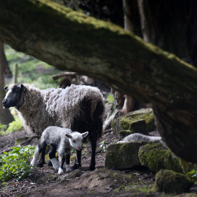 """SHETLAND EWE WITH NEWBORN LAMB"" stock image"