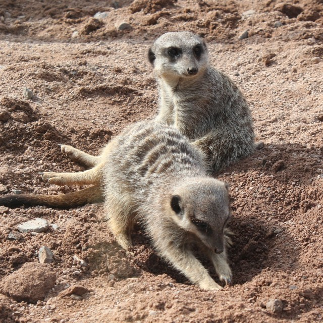 """""""Meerkats at work and rest 02"""" stock image"""