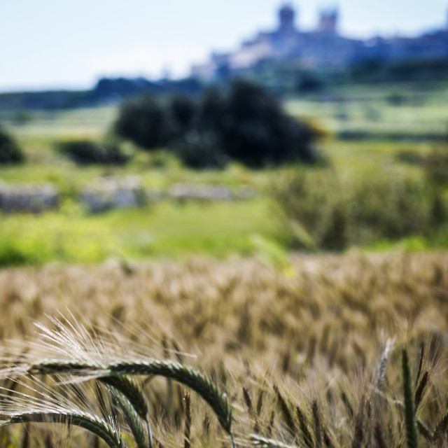 """Wheat below Mdina"" stock image"
