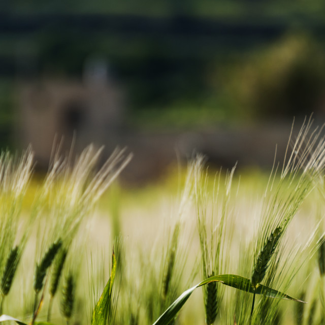 """Wheat in the foreground"" stock image"